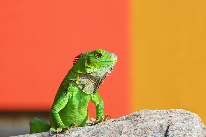 green lizard on a rock against yellow and orange background