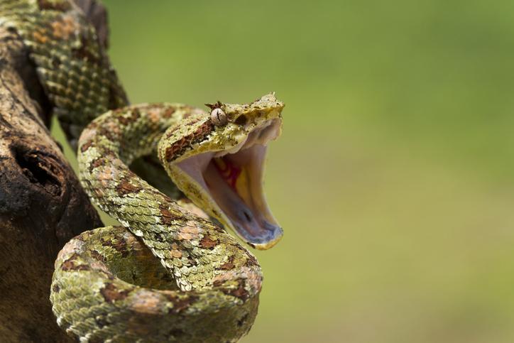 eyelash viper coiled to strike